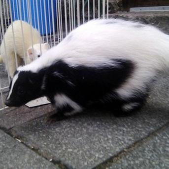 Flower the skunk has been found safe and well after going missing from her home in Kendal, Cumbria