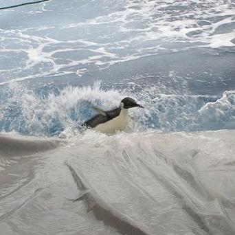 Happy Feet, the wayward emperor penguin, slides down a makeshift water slide into the Southern Ocean, south of New Zealand (AP/NIWA)