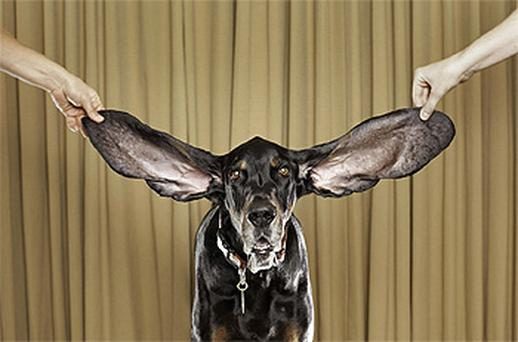 Harbor is the Guinness world record holder for dog with the longest ears