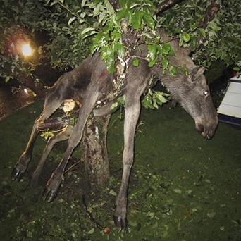 The moose, apparently drunk, got caught up in an apple tree in Gothenburg (AP)