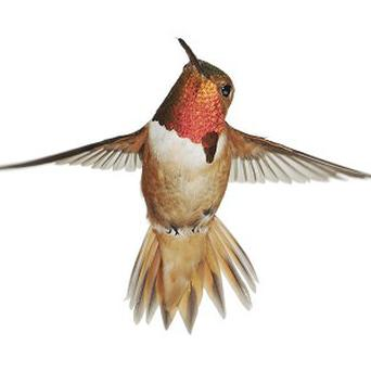A male hummingbird which produces musicals sounds with its tail feathers to attract mates