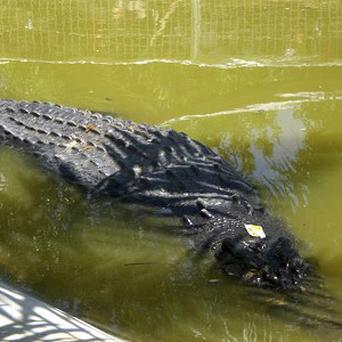 The huge crocodile has not eaten since it was captured in the Philippines (AP)