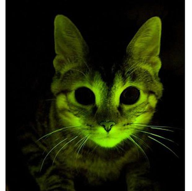 A genetically engineered green-glowing cat which has been created by gene scientists working on the Aids virus