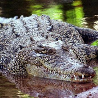 A number of crocodiles from a tourist attraction in Thailand are missing after the site was deluged by flood water