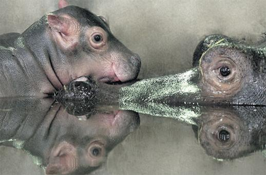 The first hippo calf, pictured with its mum Heidi, born at Dublin Zoo in 10 years