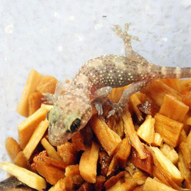 The Moorish gecko which hitched a lift to the UK in the suitcase of holidaymaker Russell Lucas