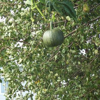 A pumpkin is shown appearing to be growing in their pear tree in Iowa (AP)