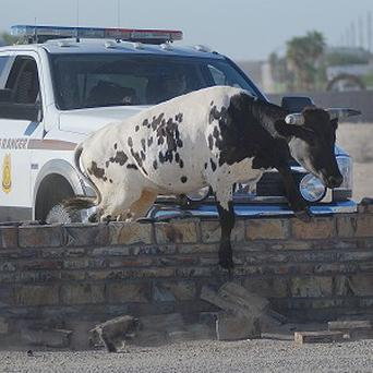 A stray steer that escaped from a cattle trailer caused chaos in Arizona