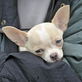 A US woman has been arrested after reportedly running a Chihuahua on a leash beside her car as she drove