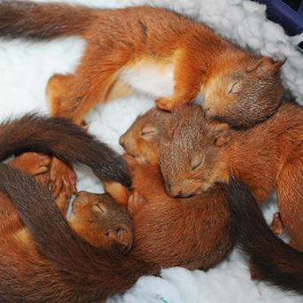 Four five-week-old squirrel kittens cosy up in a blanket at the Sanctuary Wildlife Care Centre in Morpeth