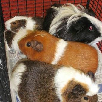 Five guinea pigs, two of which are pregnant, were dumped at a country park in East Dunbartonshire