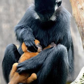 Francois' langur monkey Lu Lu with baby Tango in ZSL London Zoo