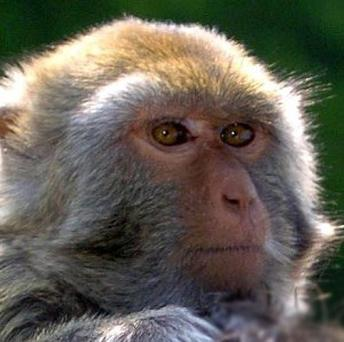 Two rhesus monkeys have been trained to move virtual objects using thought alone
