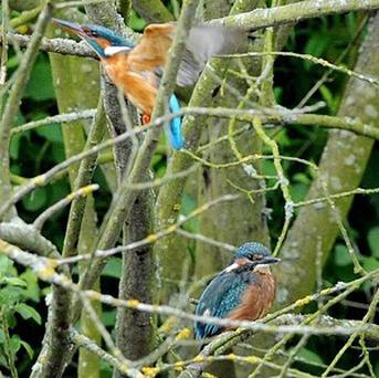 A small number of kingfishers migrate to the UK each year from the continent