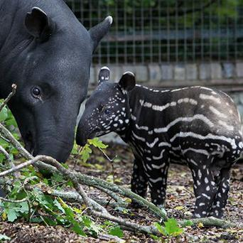 The baby tapir named Kejutan makes his first public appearance, accompanied by his mother Lidana