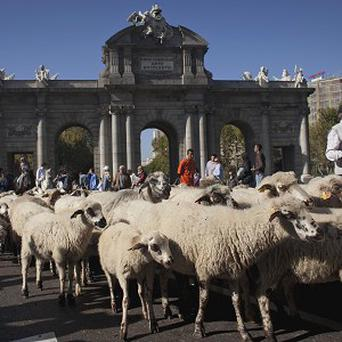 Hundreds of sheep are driven along Alcala street during an annual parade in Madrid (AP)