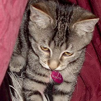 Beauty, the cat snatched by Christine Hemming, 53, wife of Birmingham MP John Hemming, from the home of his lover, is safe and well