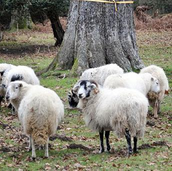 More than 130 lambs have been stolen from two fields