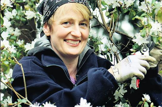 Gardener Ita Patton with some of the Ericaceae Rhododendron rigidum growing in the National Botanic Gardens in Glasnevin