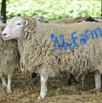 A sheep marked with the MyFarm name at Home Farm on the National Trust's Wimpole estate