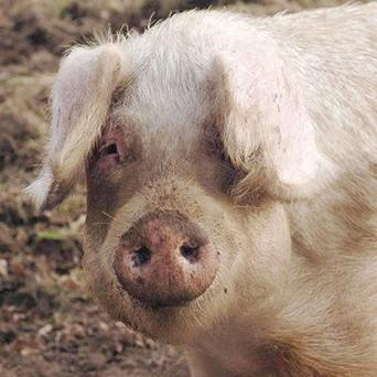 Middlesbrough Council is investigating after nine pigs' heads were found in a street