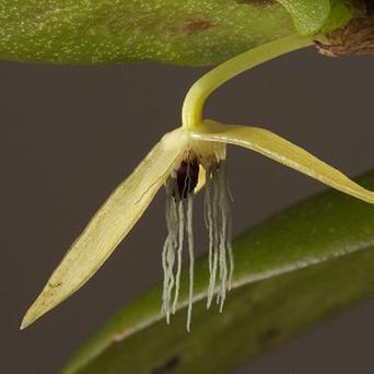 A night-flowering orchid found in New Britain is the first of its kind among 25,000 species of the plant