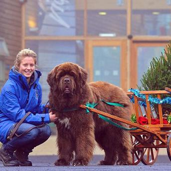 Rosie Irving with Dylan, her Newfoundland, who will be transporting Christmas trees at Dalby forest this year (Forestry Commission/PA)