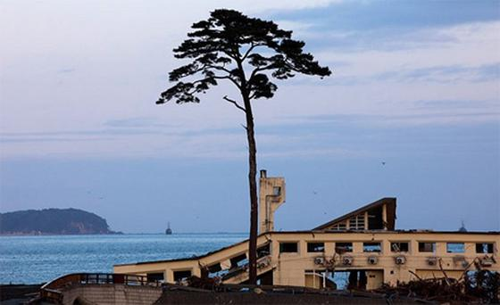 The lone pine tree is all that remains opf Takata Matsubara forest in Rikuzentakata. Photo: Getty Images