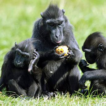 Sulawesi crested macaques will be taught how to use computer touch screens as part of a new study