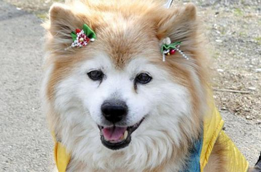 Pusuke, the fluffy tan Shiba-mix dog, was recognized as the world's oldest living dog in December 2010. Photo: AP
