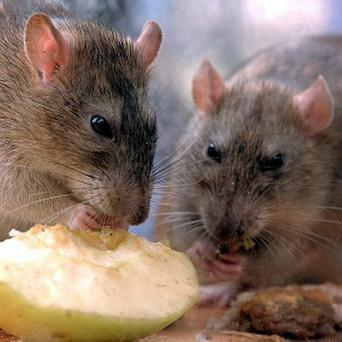 Scientists have found that rats display human-like empathy