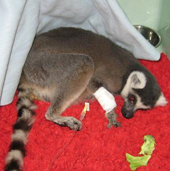The Blue Cross is caring for a ring-tailed lemur which was found on Tooting Common