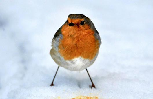 Red-breasted robins may be an essential part of Christmas, but their distinctive plumage has far greater significance for the birds themselves, a study has shown. The red breast varies in size and coloration with age and sex, suggesting it may communicate information about it's owner, scientists believe. Photo: PA
