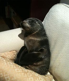 Lucky the fur seal pup - has become a media hit since inviting itself into Annette Swoffer's Tauranga home