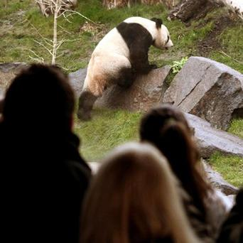 Queues of people waiting to see the UK's only pair of giant pandas are being hit by penguin droppings