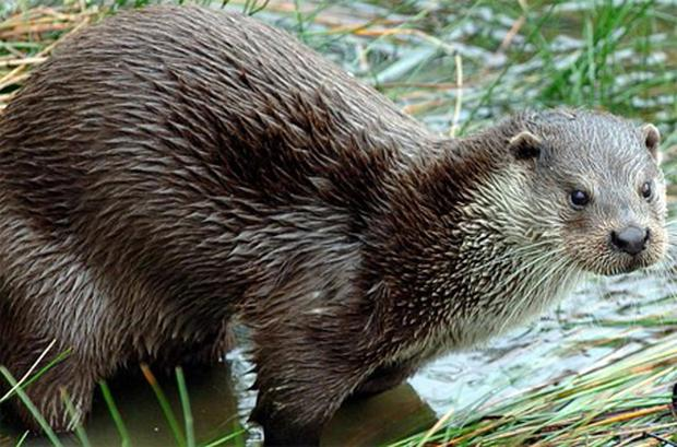 Otters are no longer the common sight they once were on riverbanks throughout Ireland. Photo: PA