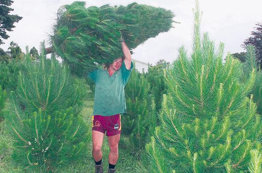 A worker cuts down a Christmas tree in the Misa fields in Auckland, New Zealand. Photo: SANDRA MU/GETTY