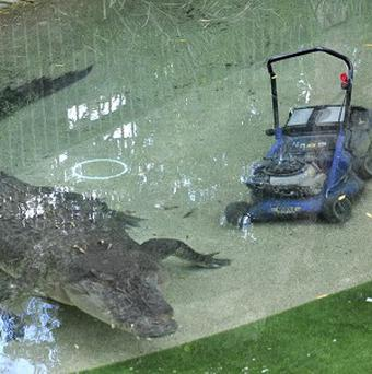Elvis, a giant saltwater crocodile swims next to a lawnmower in his pool at the Australian Reptile Park at Gosford, Australia (AP/Libby Bain)
