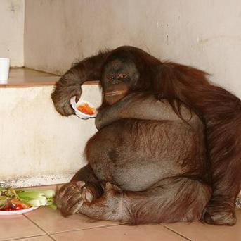 A new healthier diet has helped orang-utan Tubby Oshine lose 25kg over the past year (Monkey World - Ape Rescue Centre)