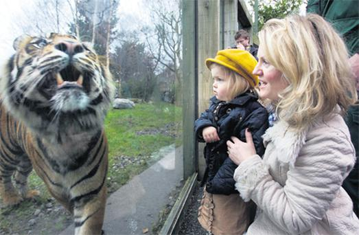 Dublin Zoo's 'one millionth visitor' winners, Joanne Barrett and her daughter Aine Rose Barrett (3), watch Sumatran tiger Kepala yesterday