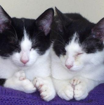 Polydactyl kittens Fred and Ned have found a new home