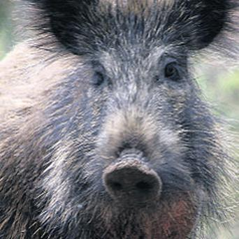 Wild boars can carry a lot of nasty diseases, such as TB, foot and mouth and swine flu