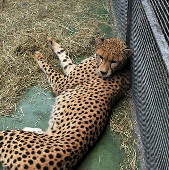 Isaac the cheetah was seized by officials at Heathrow Airport (UK Border Agency/PA)