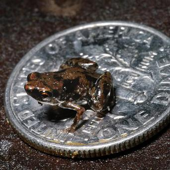 Journal PLoS One named Paedophryne amauensis as the world's smallest vertebrate species (AP/Louisiana State University, Christopher Austin)