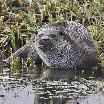 A family of otters have taken up residence at an RSPB reserve in Suffolk