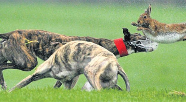 Hopes And Dreams (red collar) turns the hare to beat Yellow River in the first round of the Boylesports.com Derby at Powerstown Park, Clonmel