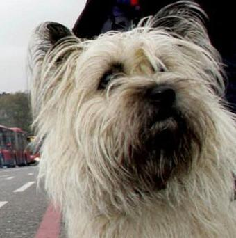 Toto from the Wizard of Oz is a Cairn Terrier