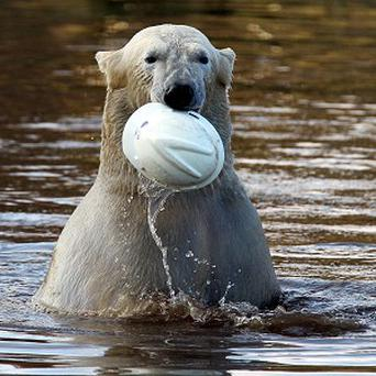 Walker the polar bear after diving into his pond at the Highland Wildlife Park