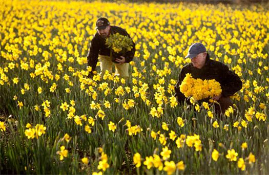 Ray Gough picking Daffodils that arrived early in Gormanstown Co Meath. Photo :Mark Condren