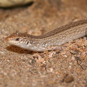 Larry the lizard survived a 3,500-mile flight and a spin in the washing machine (Tropiquaria Wildlife Park)